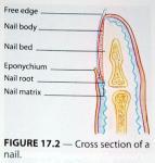 Cross-section-of-a-nail.jpg