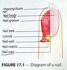 Diagram-of-nail.jpg