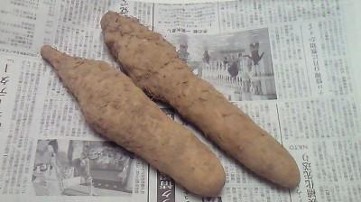 自然薯いただきました♪
