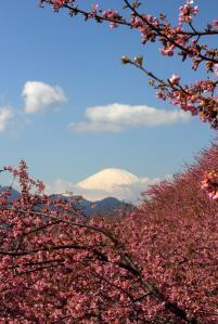 河津桜と富士山