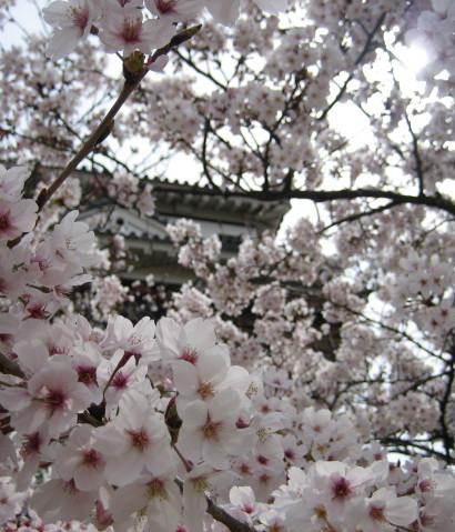 桜の中から見たお城