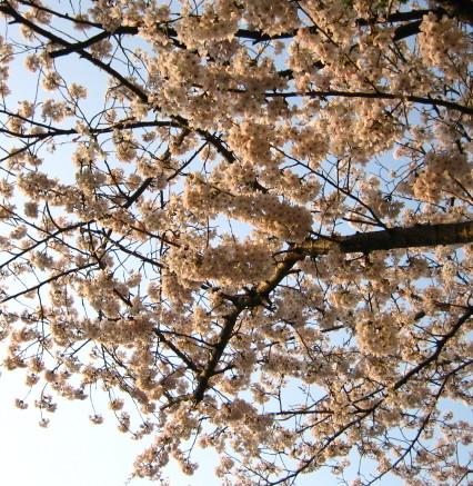 夕陽に照らされた桜大