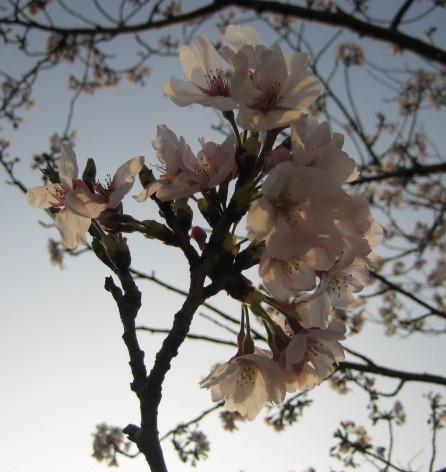 夕陽に照らされた桜