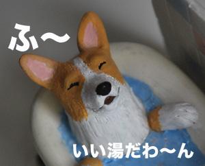 お風呂コーギー3