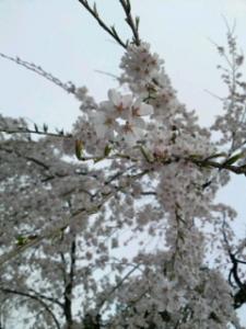 09420角館桜2