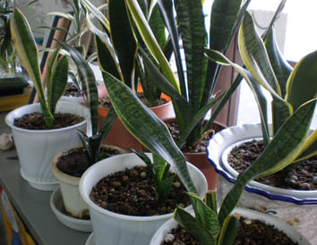 事務所内植物たち1