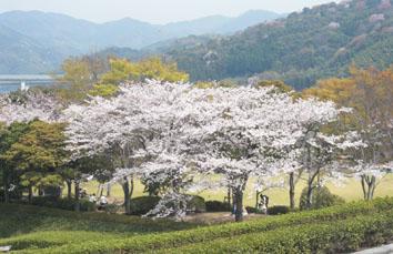 永源山公園 桜1