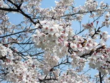 永源山公園 桜2