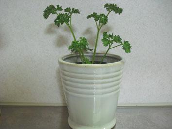 パセリを入れた植木鉢