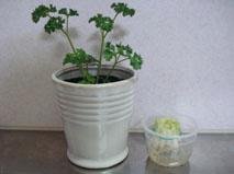 ねぎとパセリ植木鉢
