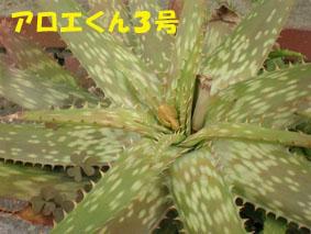 アロエくん3号 花芽