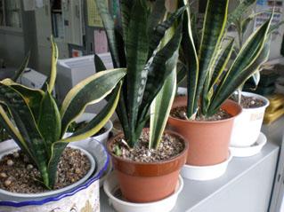 事務所内の植物