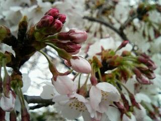 06桜11