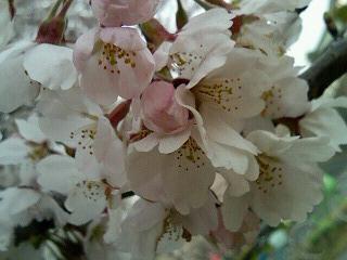 06桜12