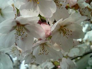 06桜13