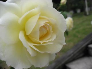 博物館の薔薇