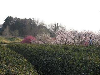 園内の茶畑