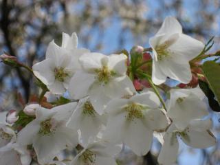 桜じゃない