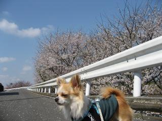 07桜14