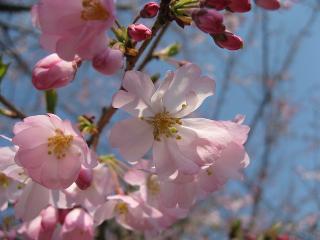 07桜16