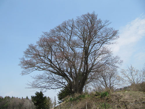 地蔵久保の大山桜