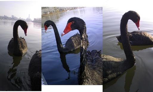 black swan 3-horz