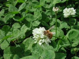 シロツメクサと蜂