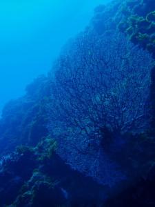 いつまでもこの珊瑚が見られますように