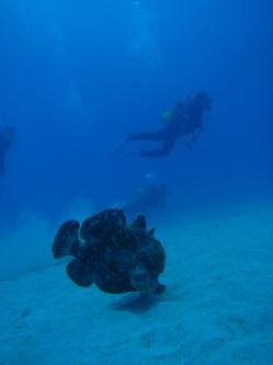 泳ぐカエルアンコウ