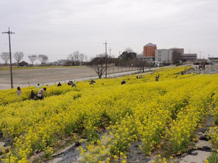 愛知牧場の菜の花 (花摘み用)