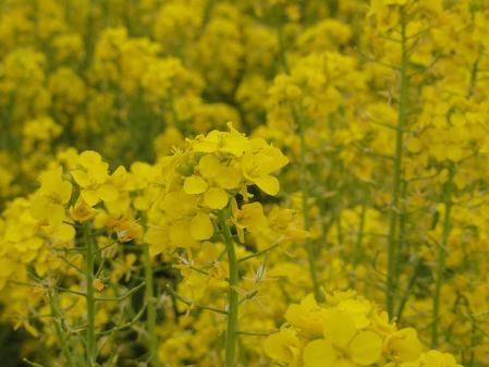 愛知牧場の菜の花 アップ