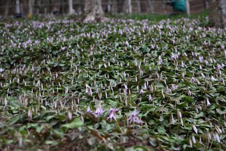 香嵐渓のカタクリ 北斜面は咲いていない。。。