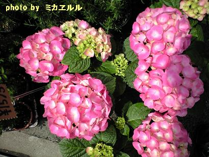 ピンキーちゃんCA390489