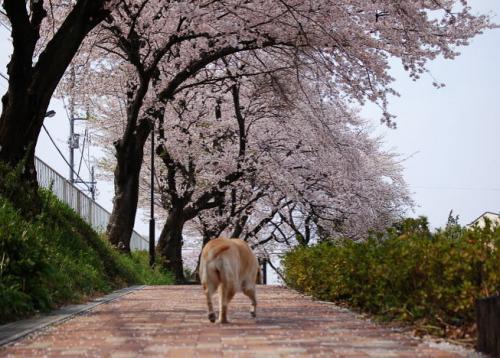 20090408sakura.jpg