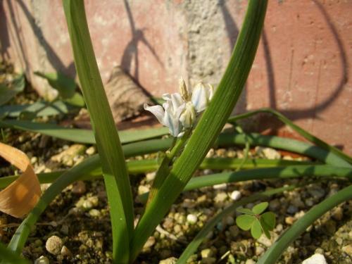 ちいさな白い花