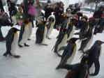 旭山動物園ペンギンのお散歩