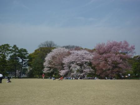 Cherry-blossom viewing