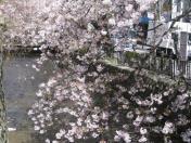 木屋町通の桜、満開。