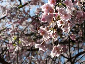 美山-桜2