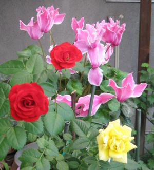 2009.5.16薔薇blog