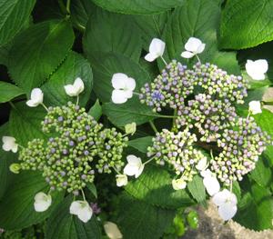 2009.5.27紫陽花blog01