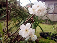 """小さな春""""桜""""♪"""