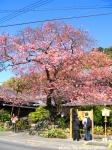 blog_kawazusakura.jpg