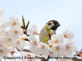 blog_sakura09-2.jpg