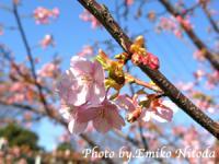 blog_sakura09.jpg