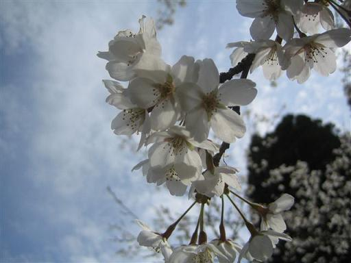 久留里の桜