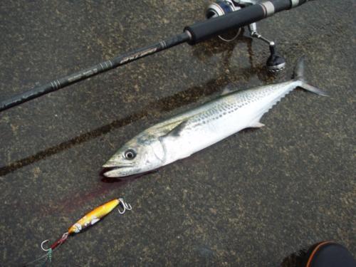 2009.4.25日本海サゴシ
