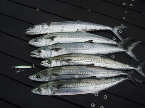 2009.4.25日本海サゴシ1