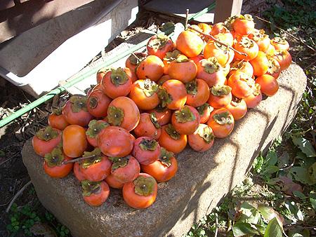 20081123富有柿