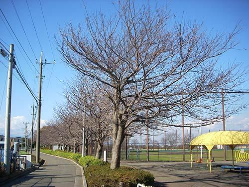 20081206冬の桜並木